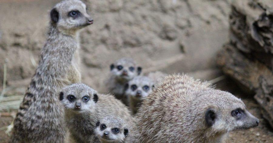 Die muntere Erdmännchen-Familie im Duisburger Zoo.