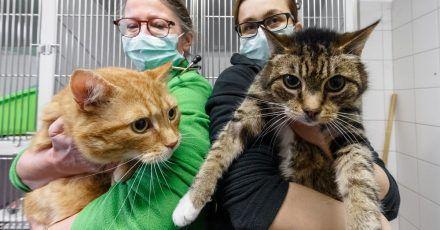 Die Katzen Lolek (l) und Bolek suchen nach ihrer überstandenen Corona-Infektion ein neues Zuhause. Die beiden kastrierten Kater sind in den Vermittlungsbereich des Tierheims umgezogen.