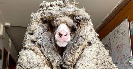 Das wilde Schaf Baarack trug mehr als 35 Kilo schwere Wolle.