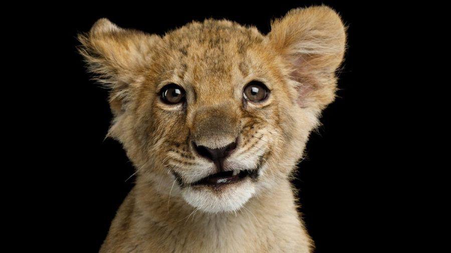 Video: Dieses Löwenbaby ist ein Wunder der Wissenschaft