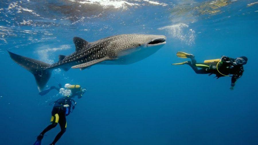 Video: Unglaubliche Rettungsaktion: Taucher befreien Walhai