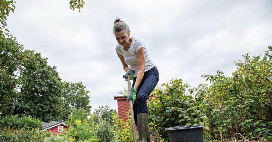 Frühe Sorten können Sie bereits im Juli und August ernten, mittelfrühe Anfang September und späte Sorten bis zum Oktober ausgegraben.