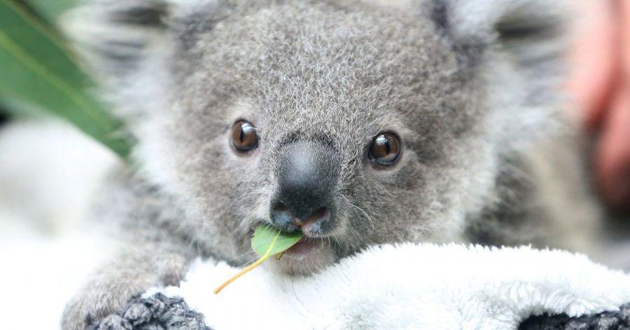 Eerin kaut an einem Eukalyptusblatt.