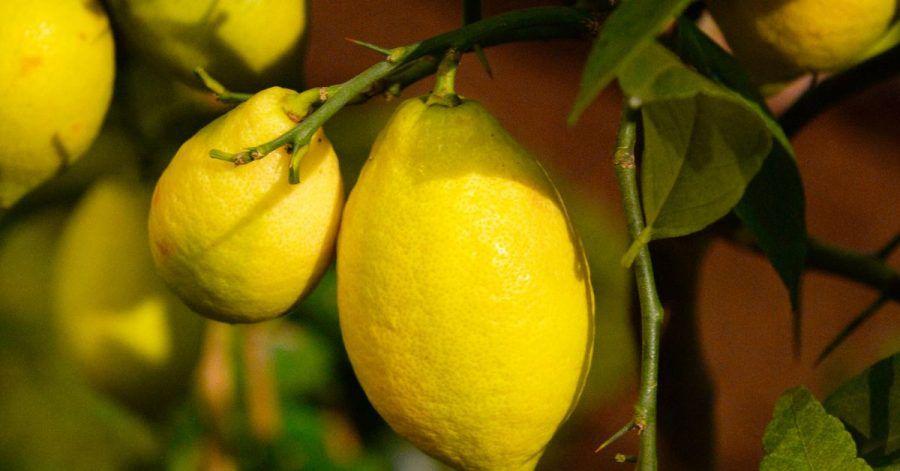Konventionell angebaute Zitronen werden vor oder nach der Ernte mit Wachs und Pestiziden behandelt. Diese Schicht versiegelt die Zitronen. Diese Mittel dürfen bei Bio-Zitronen nicht verwendet werden. Daher schimmeln sie eher.