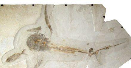Dieses Fossil (Teile wurden rekonstruiert) eines 93 Millionen Jahre alten «Adlerhais»  hat ein europäisch-mexikanisches Paläontologen-Team entdeckt. Das 1,7 Meter lange Tier habe Brustflossen mit einer Spannweite von 1,9 Metern gehabt, berichten die Forscher.