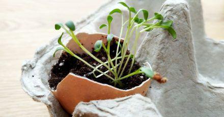 In leeren Eierschalen lässt sich gut Gartenkresse aufziehen.
