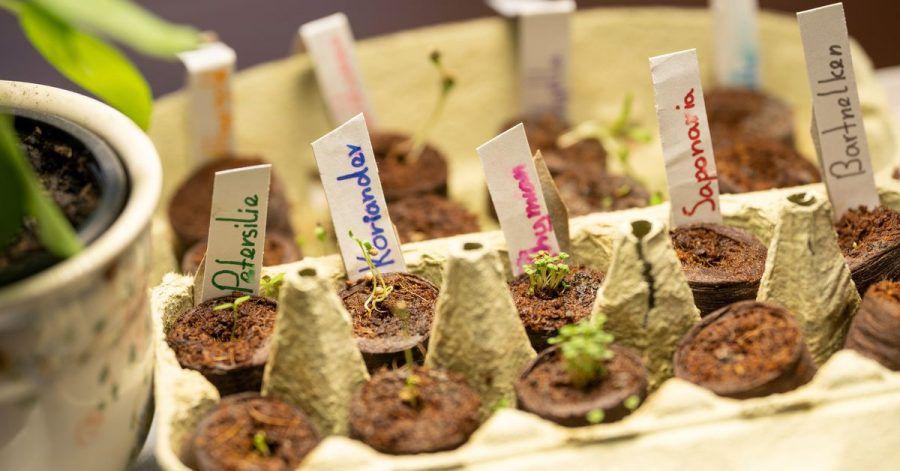 Wer Kräuter zunächst vorzieht, kann sich später die kräftigsten und schönsten Pflanzen für den Mini-Garten aussuchen.