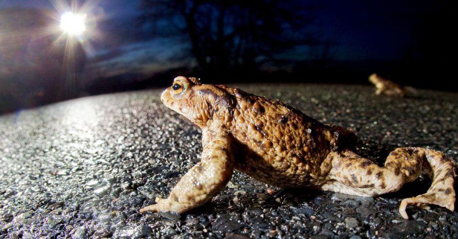 Die Wanderung der Kröten ist gefährlich, denn oft müssen sie Straßen überqueren. Viele Tiere werden dabei von Autos überfahren.