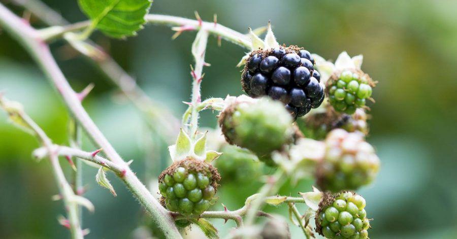 Leckere Brombeeren: Besonders gut gedeiht Strauchbeerenobst in einem aufgelockerten Boden.