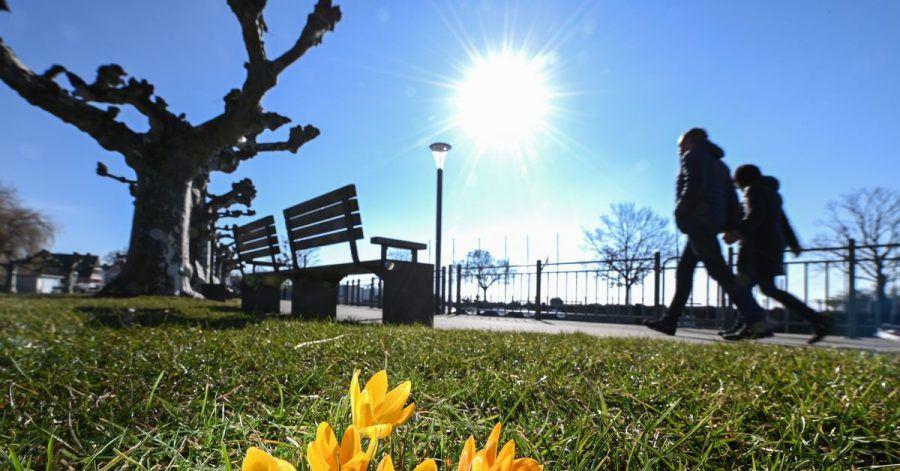 Der Frühling lockt: Krokusse an einer  Uferpromenade am Bodensee.
