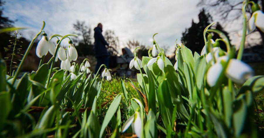 Schneeglöckchen blühen im Vorfrühling. Darauf folgt die Forsythie im Erstfrühling. Erst danach erreicht die Pflanzenwelt den Vollfrühling.