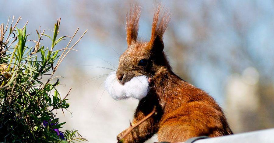 Mit einem Wattebausch in der Schnauze kehrt ein Eichhörnchen auf «seinen» Balkon zurück. Im Blumenkasten hat es sich ein Nest gebaut.