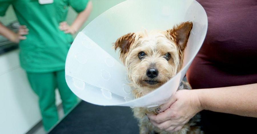 Halskrause nach der OP: Ob Hundehalter ihr Tier kastrieren lassen sollen, müssen sie gut abwägen - einige Argumente sprechen dagegen.