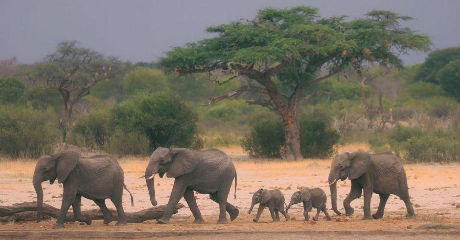 Eine Elefantenherde ist im Hwange-Nationalpark auf der Suche nach Wasser. Der beschränkte Zugang zu Frischwasser könnte eine Ursache für den sinkenden Elefantenbestand sein.