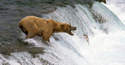 Festmahl im Fluss: In Alaska können Reisende Bären beim Fangen von Lachsen und anderen Fischen beobachten.