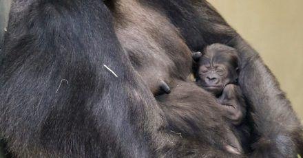 Das Mitte Februar geborene, noch namenlose  Gorilla-Mädchen im Arm seiner Mutter Bibi.