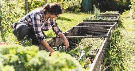 Das Frühbeet lässt sich auch im Sommer nutzen - ohne Dach, sonst wird es denn Pflanzen darin zu heiß.