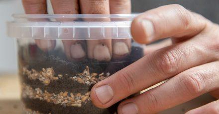 Pilzbrut für Austernseitlinge und Kaffeesatz in einem Topf eines Pilzzuchtsets von Ralph Haydl.