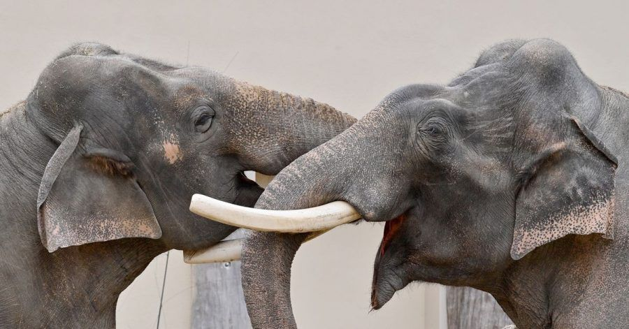 Zwei Elefanten im Tierpark Hellabrunn.