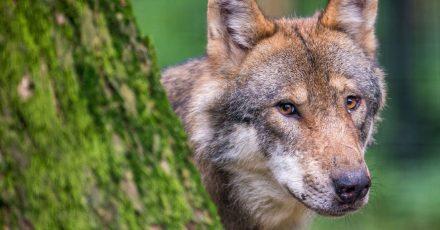 Wölfe sind Raubtiere, deren natürliches Verhalten bei Menschen meist eine Verunsicherung auslösen.
