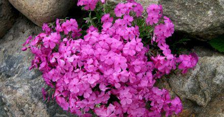 Knalliges Pink und würziger Duft: Der Phlox entfaltet seine ganze Wirkung an lauen Sommerabenden.