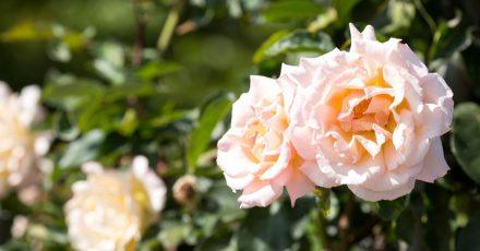 Mehltau frühzeitig vorbeugen: Es muss nicht immer die Chemiekeule sein, damit Rosen in voller Pracht erblühen.