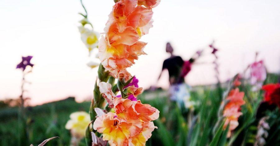 Statt Schnittblumen auf einem Feld zu pflücken, können Gartenbesitzer sie auch in einem Beet säen - dann aber nicht zu dicht setzen.