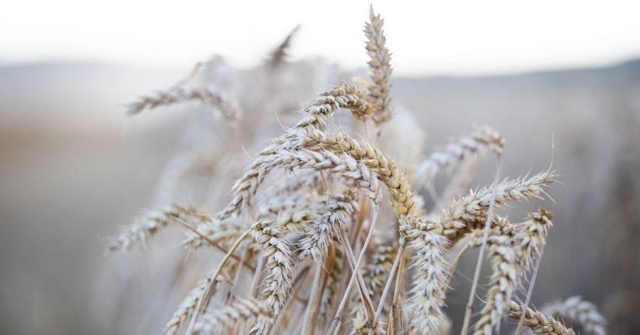 In vielen Getreidesorten steckt Gluten.