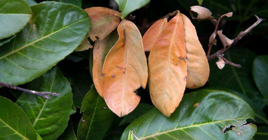 Winterschäden können auch nur einzelne Blätter betreffen - wie hier an einem Kirschlorbeer.
