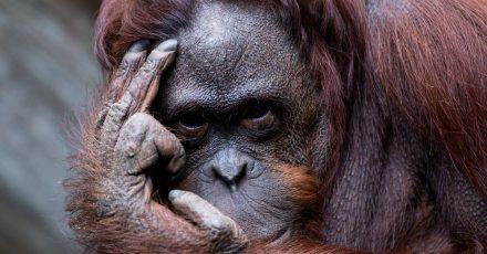 """""""Da laust mich doch der Affe!"""", mag sich mancher Verantwortliche des Zoos Münster gedacht haben - angesichts einer Rekordspende."""