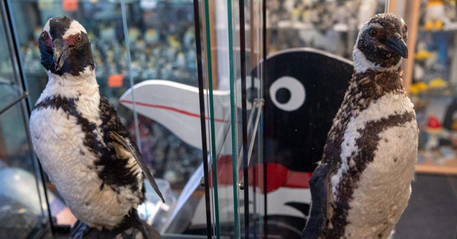 Pinguine, wohin das Auge reicht: Ob als Plüschtier, als Sammlerfigur oder auf Krawatten - im Pinguin-Museum Cuxhaven wimmelt es vor Frackträgern.