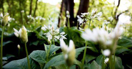 Bärlauch (Allium ursinum) ist gefährlich für Hund und Pferd. Fressen sie davon, kann es bei den Tieren die roten Blutkörperchen zerstören, was zu Blutarmut führt.