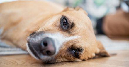 Wenn die Natur erblüht, beginnt für allergische Hunde die Leidenszeit. Die Augenpartie regelmäßig mit klarem Wasser reinigen, kann dem Tier schon Erleichterung bringen.