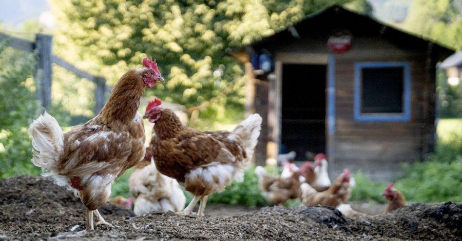 Wer einen eigenen Garten hat, darf auch Hühner besitzen. Sie müssen allerdings dem zuständigen Veterinäramt und der Tierseuchenkasse gemeldet werden.