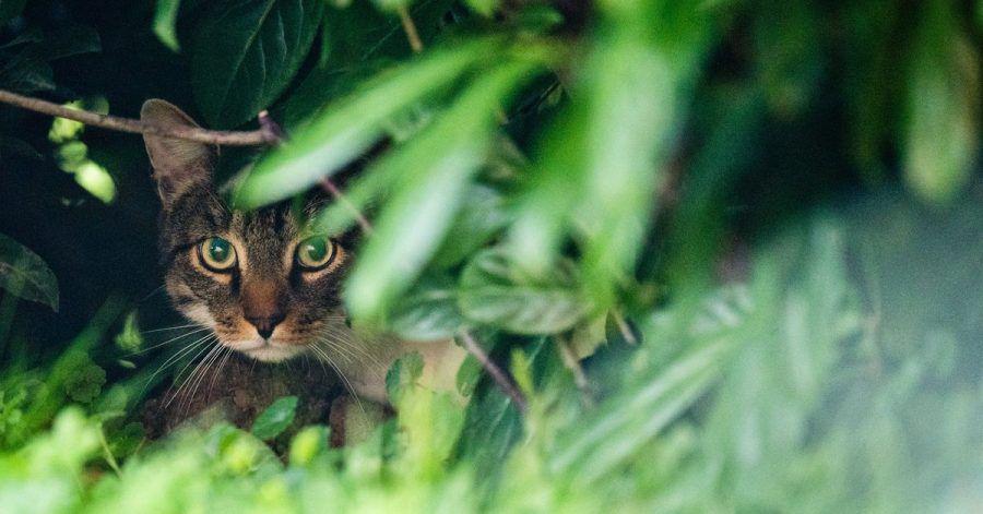 Katzen fehlt ein spezifisches Enzym, um den Antizeckenwirkstoff Permethrin im Körper umzuwandeln. Es können schwere Vergiftungserscheinungen auftreten.