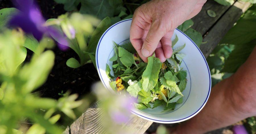 Sauerampfer schmeckt herrlich frisch und passt gut in einen bunten Frühlingssalat.