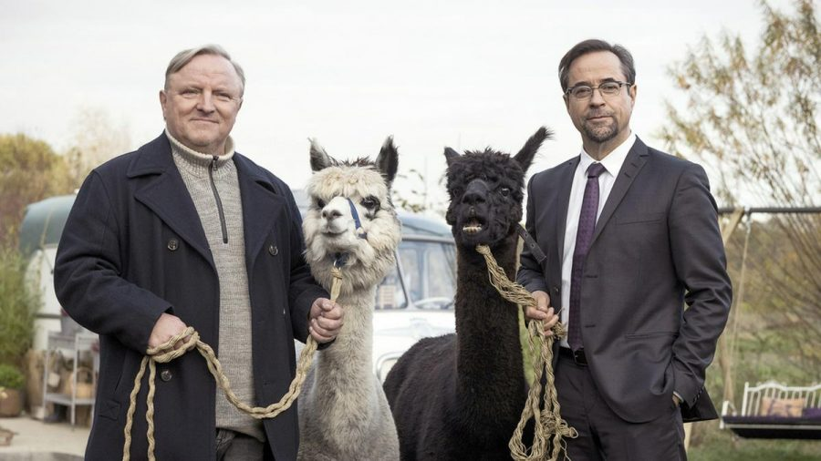 "Kommissar Frank Thiel (Axel Prahl, l.) und Prof. Karl-Friedrich Boerne (Jan Josef Liefers) mit zwei Alpakas im ""Tatort: Rhythm and Love"". (ili/spot)"