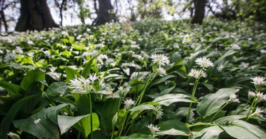 Typisch für Bärlauch ist, dass er oft über große Flächen zwischen den Bäumen wächst.
