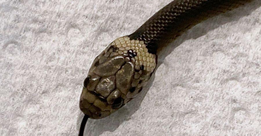 Das vom Wildlife Information, Rescue and Education Service (WIRES) zur Verfügung gestellten Foto zeigt eine blassköpfige Schlange (Pale-headed Snake).