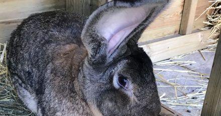 Das  Handout-Foto der Polizei von West Mercia zeigt das «längste Kaninchen» der Welt, Darius.