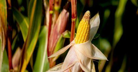 Mais eignet sich auch für den Anbau im eigenen Garten - der ideale Partner für Kartoffeln, Zucchini und Salat.