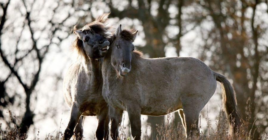 Konik-Wildpferde in freier Natur - vier Exemplare wurden nun auch an denIvenacker Eichen in Mecklenburg-Vorpommern angesiedelt.