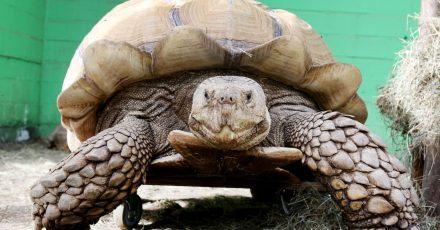 Das rund 100 Kilogramm schwere Schildkrötenmännchen Helmuth bewegt sich auf seinem Rollbrett durch das Gehege.