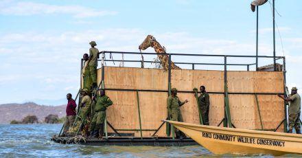Eine vom Aussterben bedrohte Rothschildgiraffe wird auf einem Lastkahn transportiert, um sie von der Insel Longicharo zu einem Schutzgebiet auf dem Festland zu bringen.