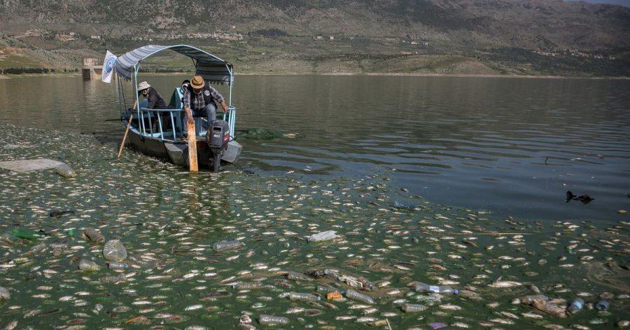 Freiwillige sammeln tote Karpfenfische aus dem Qaraoun-Stausee im Beqaa-Tal im Ostlibanon.