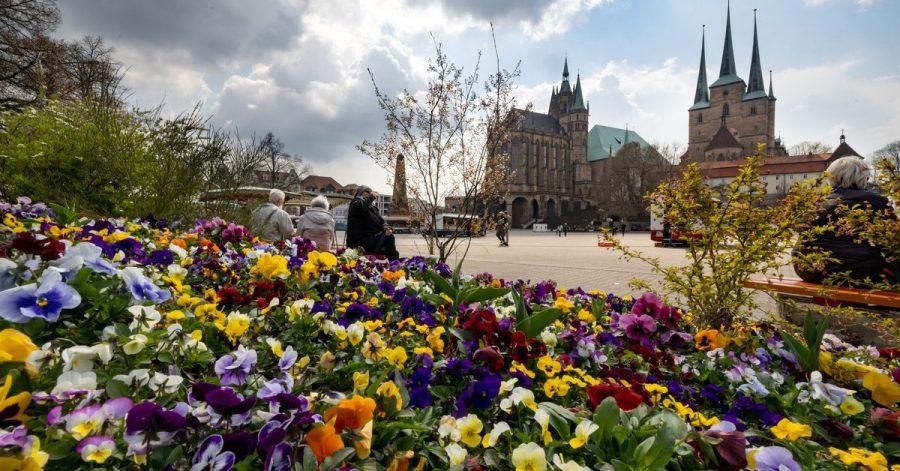 Stiefmütterchen blühen auf einer bepflanzten Insel an Erfurts Domplatz.