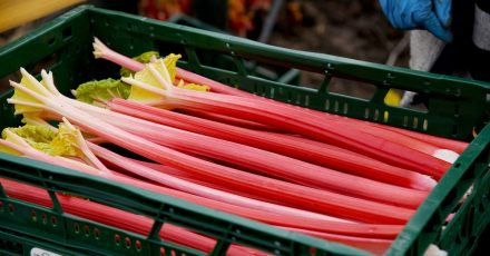 Rhabarber ist reich an Fruchtsäuren. Damit das Gemüse nicht zu sauer schmeckt, sollten Schale und Fruchtfleisch am besten eine rote Farbe haben.