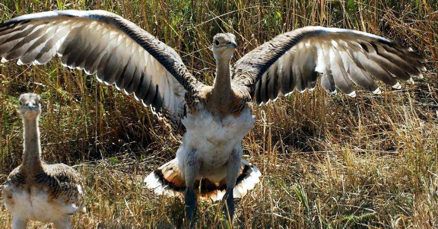 Der auch als «Märkischer Strauß» bekannte Vogel gehört mit bis zu 17 Kilo zu den schwersten flugfähigen Vögeln der Welt.