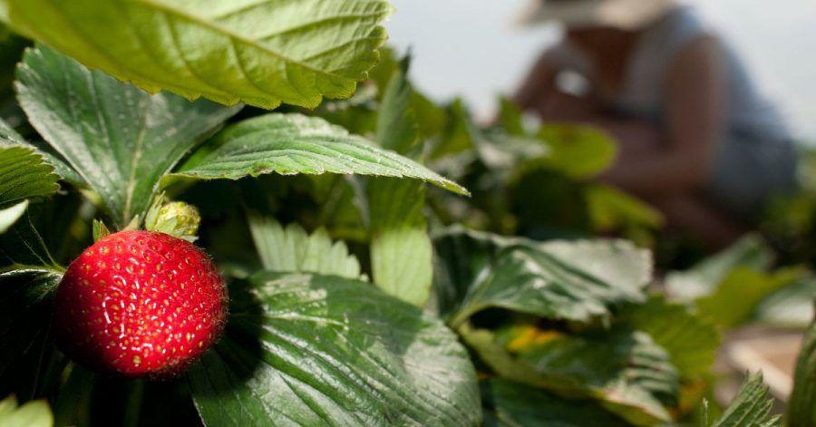 Erdbeeren brauchen eine gute Nährstoffversorgung sowie einen lockeren Boden.