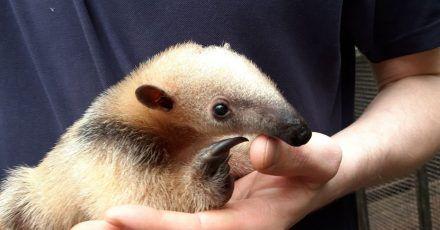 Rund 700 Gramm bringt der zehn Wochen alte Tamandua auf die Waage. Einen Namen hat das Tier noch nicht.